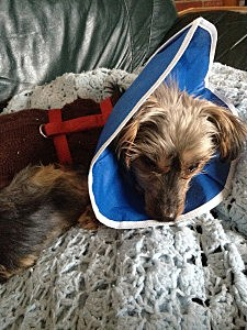 Wearing the cone of healing? or the cone of shame?